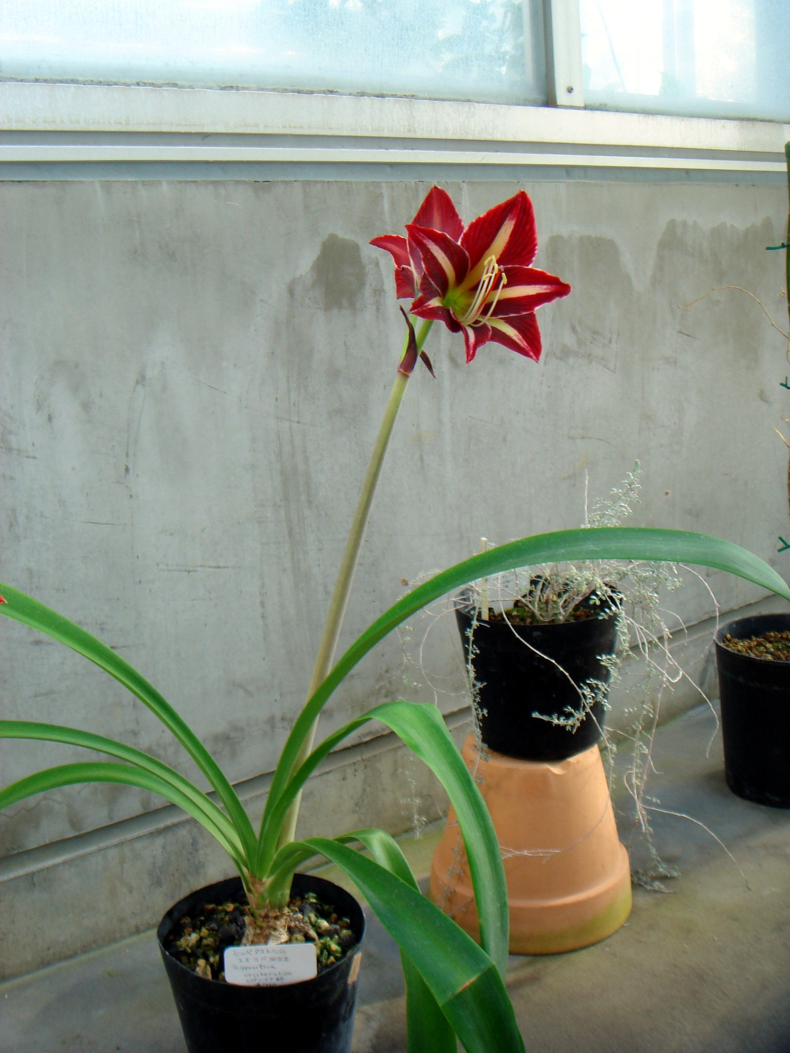 Цветок похожий на гиппеаструм фото